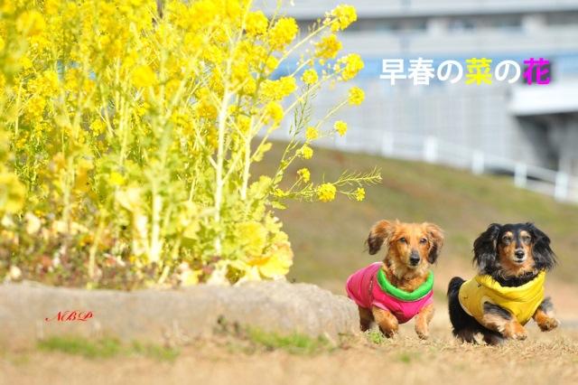 早春の菜の花.jpg