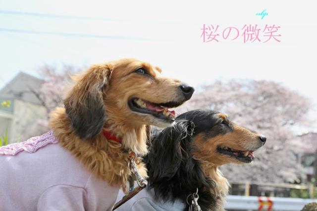 桜の微笑.jpg