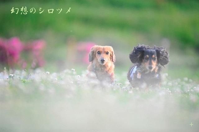 幻想のシロツメ.jpg