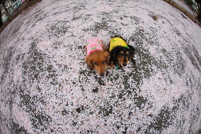 桜の絨毯.jpg