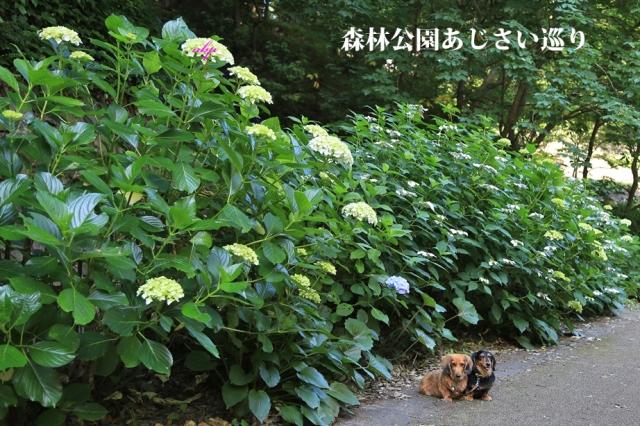 森林あじさい巡り.jpg